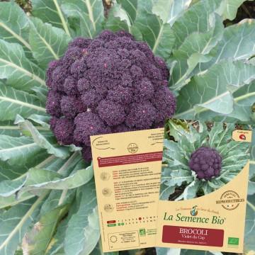BROCOLI violet du Cap Bio