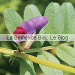 Vesce engrais vert - jardin potager bio
