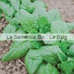 epinard bio - graines pour potager - La La Semence Bio