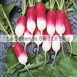 Radis de 18 jours semence bio - jardin potager