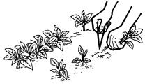 repiquage semences bio La Semence Bio