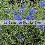 Bleuet bio fleurs - jardin potager