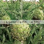 artichaut semence bio - jardin potager