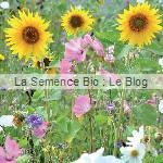 Jachère Fleurie - graine bio - La Semence Bio