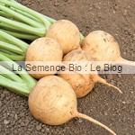 graines de navet bio - La Semence Bio