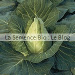 Chou cabus blanc bio - graines pour potager