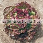 Laitue batavia rouge Grenobloise - graine bio - La Semence Bio