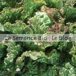 laitue - semence bio - jardin potager