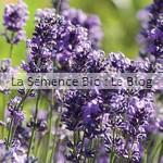 lavande, semence bio de fleur - potager jardin