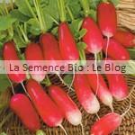 Radis Flamboyant bio - graines pour potager