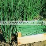 ciboulette - la semence bio - jardin potager