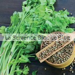 Coriandre semence aromatique bio - jardin potager