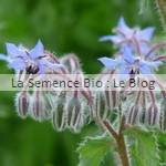 semis de bourrache - engrais vert bio La Semence Bio