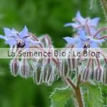 Bourrache fleurs bio - jardin potager