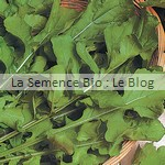 semence de roquette bio - potager