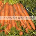Carotte Nantaise - semence bio potager