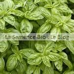 Basilic semences bio - jardin potager La semence Bio