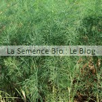 Aneth bio - semences potagères - La Semence Bio