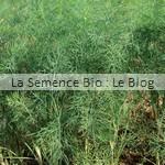 semence bio aneth - culture associée