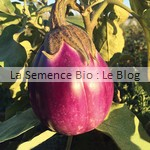 Aubergine, semence potager - La Semence Bio