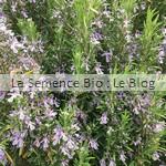 Romarin aromatique bio - jardin potager