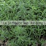 Sarriette aromatique bio - jardin potager