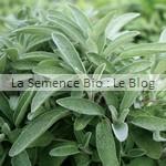 Sauge aromatique bio - La Semence Bio