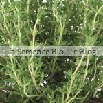 Thym aromatique bio - jardin potager