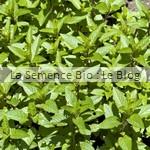 Menthe aromatique bio - jardin potager