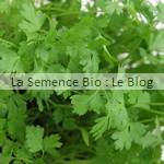 Cerfeuil aromatique bio - jardin potager