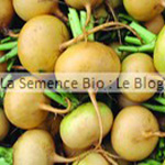 Navet Petrowski semence bio - jardin potager