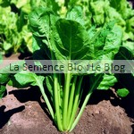 semences de blette bio - potager aout
