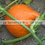 semence de potimarron - potager bio