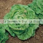 semences bio de laitue- permaculture