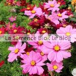 cosmos semence de fleur bio - jardin