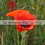 coquelicot semence de fleurs bio - jardin potager