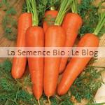 Carotte semence bio - jardin potager