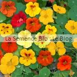 capucine semence de fleur bio - jardin potager