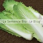 Chou de Chine bio - semence potager