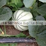 semence de melon - potager bio