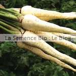 Panais bio - semence potager