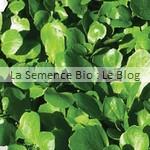 semence de cresson - potager bio
