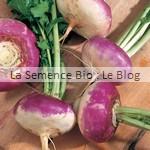 semence de Navet plat de Milan bio - jardin potager