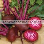 semences de betterave bio - potager