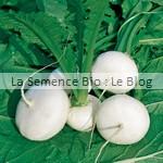 navet semences bio - graines pour potager
