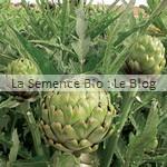 semence artichaut - La Semence Bio - potager