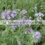 phacélie semence d'engrais vert bio - jardin potager