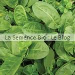 semence oseille bio - potager