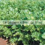 semences bio de céleri - potager