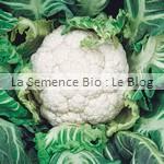 semence de chou-fleur bio - potager